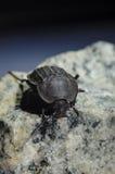 Escarabajo en piedra Imagenes de archivo