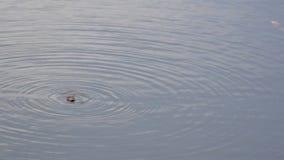 Escarabajo en su parte posterior en el agua que lucha, muriendo - cámara lenta 25p almacen de video