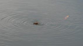 Escarabajo en su parte posterior en el agua que lucha, muriendo - 30p 4k almacen de video