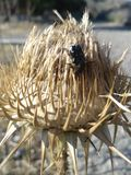 Escarabajo en un carduus foto de archivo libre de regalías