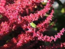 Escarabajo en una flor Imágenes de archivo libres de regalías