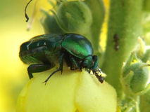 Escarabajo en una flor foto de archivo libre de regalías