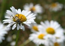 Escarabajo en una flor de la margarita Foto de archivo