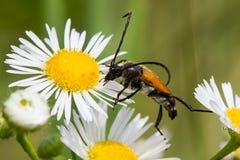 Escarabajo en una flor de la margarita Fotografía de archivo libre de regalías