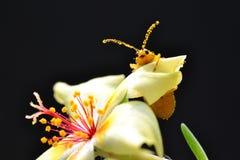 Escarabajo en una flor del purslane imagenes de archivo