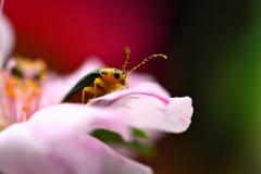 Escarabajo en una flor del purslane foto de archivo