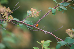 Escarabajo en una rama Foto de archivo libre de regalías