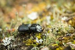 Escarabajo entre liquenes Imagen de archivo