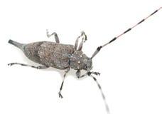 Escarabajo femenino del fonolocalizador de bocinas grandes, aedilis de Acanthocinus aislado en el fondo blanco Fotos de archivo
