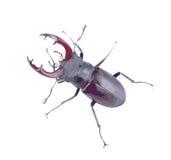 Escarabajo grande Fotos de archivo