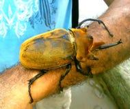Escarabajo grande Fotos de archivo libres de regalías