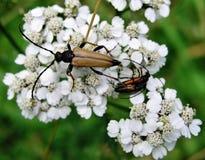 Escarabajo grande de las antenas Foto de archivo