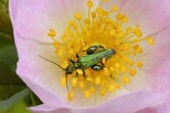 escarabajo Grueso-legged de la flor Fotografía de archivo