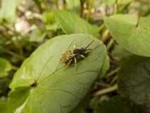 Escarabajo hermoso Imagenes de archivo