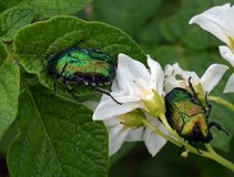 Escarabajo, insecto, insecto, verde, naturaleza, macro, flor, animal, hoja, planta, verano, primer, primer, fauna, blanco, mosca, foto de archivo