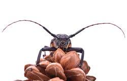 escarabajo Insescts-Largo-de cuernos en el fondo blanco fotos de archivo
