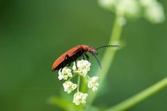 Escarabajo invertebrado del cardenal del retrato Fotos de archivo libres de regalías