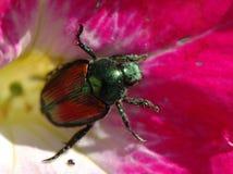 Escarabajo japonés Foto de archivo libre de regalías