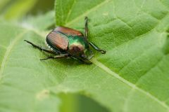 Escarabajo japonés Fotos de archivo libres de regalías