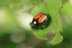 Escarabajo japonés Fotografía de archivo