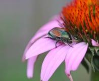 Escarabajo japonés imagenes de archivo