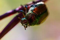 Escarabajo japonés Foto de archivo