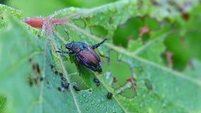 Escarabajo japonés, japonica del Popillia, en una hoja