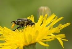 Escarabajo japonés que pone los huevos Imagenes de archivo