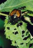 Escarabajo japonés y hoja destruida Imagenes de archivo