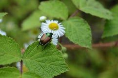 Escarabajo japonés y margarita fotografía de archivo