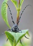 escarabajo Largo-de cuernos Fotos de archivo