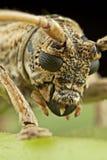 escarabajo Largo-de cuernos Foto de archivo libre de regalías