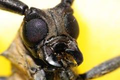 Escarabajo largo-de cuernos macro Fotos de archivo libres de regalías