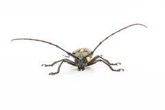 Escarabajo largo de las antenas Imagenes de archivo