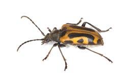 Escarabajo largo del claxon (interrogationis de Brachyta) fotos de archivo