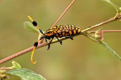 escarabajo longicorne Imagen de archivo libre de regalías