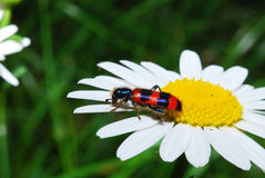 Escarabajo macro en una flor Imagen de archivo libre de regalías