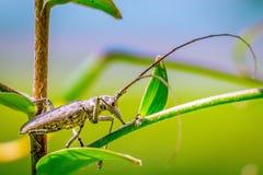 Escarabajo manchado blanco de Saywer imagenes de archivo