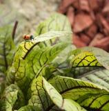 Escarabajo manchado del espárrago en las hojas Fotografía de archivo