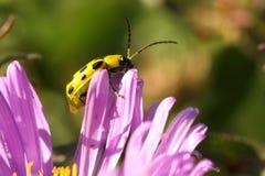 Escarabajo manchado del pepino Imagen de archivo libre de regalías