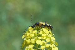 Escarabajo manchado en la flor Fotos de archivo libres de regalías
