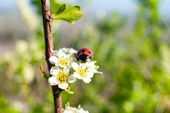 Escarabajo - mariquita en la flor blanca de la primavera fotografía de archivo