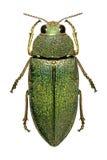 Escarabajo medio-oriental de la joya fotos de archivo libres de regalías