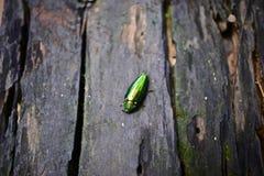 Escarabajo metálico del madera-taladro Fotos de archivo