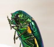 Escarabajo metálico del taladro de madera Imagen de archivo libre de regalías