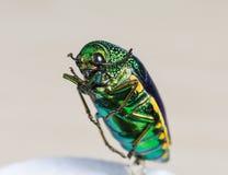 Escarabajo metálico del taladro de madera Imágenes de archivo libres de regalías