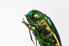 Escarabajo metálico del taladro de madera Foto de archivo