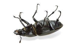 Escarabajo muerto Imágenes de archivo libres de regalías