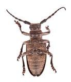 Escarabajo muerto Fotografía de archivo