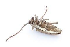 Escarabajo muerto Fotos de archivo